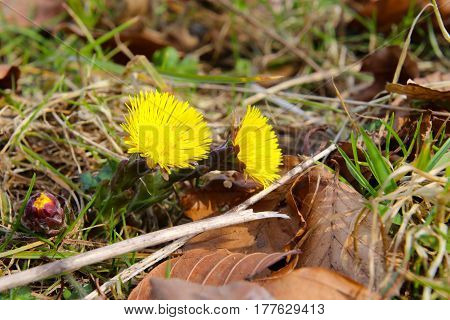 Coltsfoot is preparing for spring in the sun in March