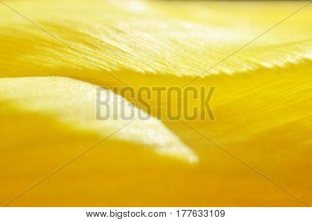 Macro photo of yellow tulip flower background.