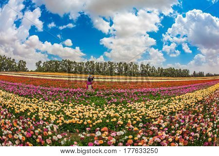 Woman photographing scenic rural field. Spring in Israel. Magnificent multicolored flowering garden buttercups. The concept of modern agriculture and industrial floriculture
