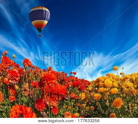 The multi-color balloon slowly flies over blossoming fields of garden buttercups. Concept of rural and extreme tourism. Light cirrus clouds portend a warm day