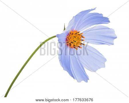 blue color flower isolated on white background