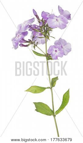 lilac phlox flowers isolated on white background