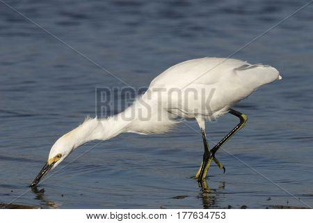 A Snowy Egret, Egretta thula looking for prey in a wetland in Florida
