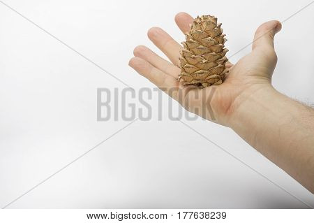 Brown cedar cone lies in an open hand close-up