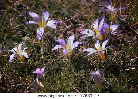 wild flowers of Romulea in Etna Park, Sicily