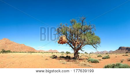 Big tree standing alone in african desert grassland. Huge birds nest of baya hangs in the branches. Tiras Mountain Desert, Namibia, Namib.