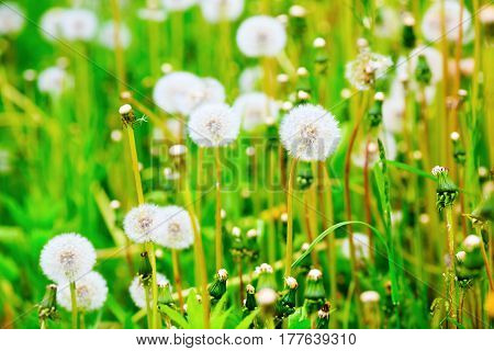 Dandelion on the meadow. Sunny summer day. Shallow depth of field. Selective focus.