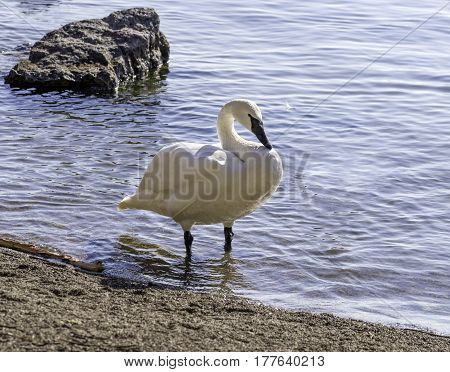 Strong and graceful trumpeter swan standing in shallow water on lake shore feather in water