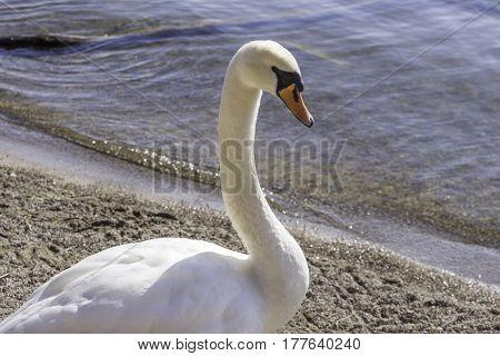 Beautiful white trumpeter swan walking along waters edge side portrait closeup