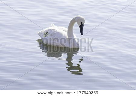 Graceful tagged trumpeter swan swimming on a calm lake environmental conservation and management concept