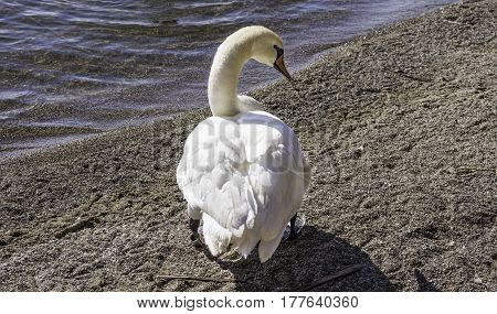 White trumpeter swan with orange beak standing on beach shore enjoying sun ankle tag