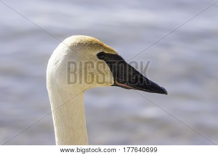 Profile of graceful wet swan head only shining in the afternoon sun detail of eyes beak and face