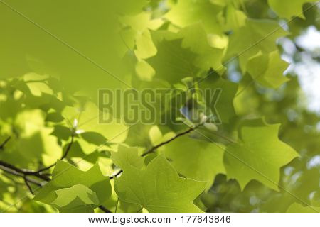 Fresh green spring time foliage - abstract