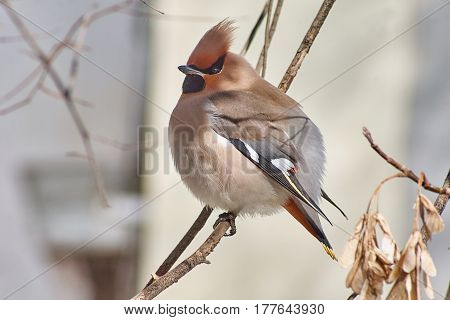 Bombycilla garrulus. Songbird waxwings on the branches .