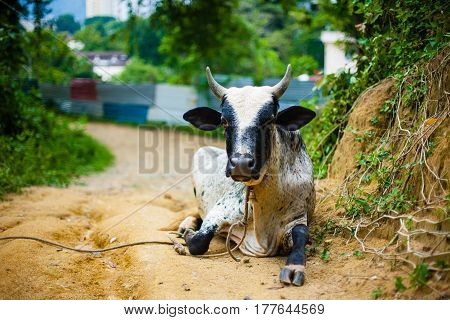 Asian cow lie on sand on green farm background, Malaysia