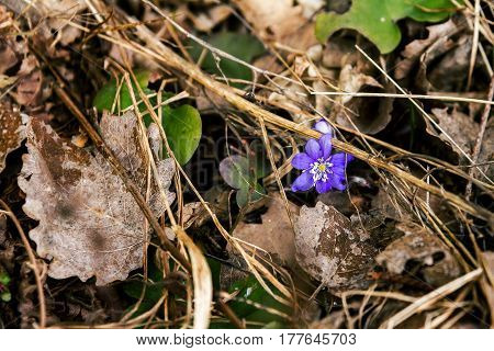 First fresh blue violet in the forest. Blue spring wildflower liverwort Hepatica nobilis.