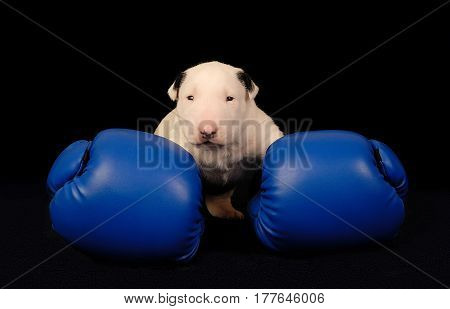 Miniature White Bull Terrier puppy in blue boxing gloves over black background. Creative photo for your sport animal projects
