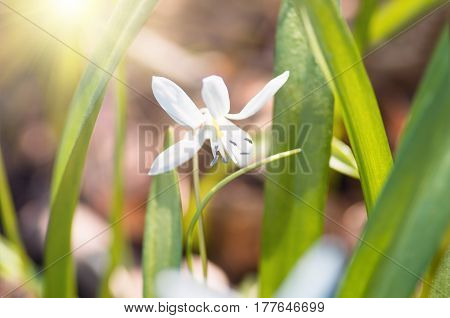 Blooming white flower spring snowdrop Scilla Squill Soft focus. nature background.