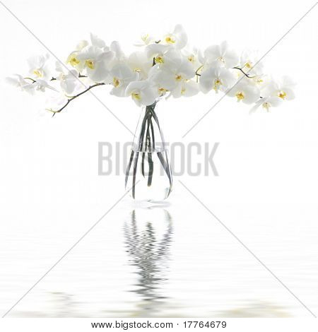 White orchid in vase reflection