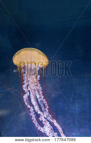 Colorful jellyfish from the depths of the ocean. Although the jellies are beautiful they are very dangerous. Ocean creature from the dark abyss.