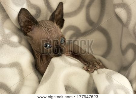 kitten a female canadian Sphynx hairless cat chews blanket