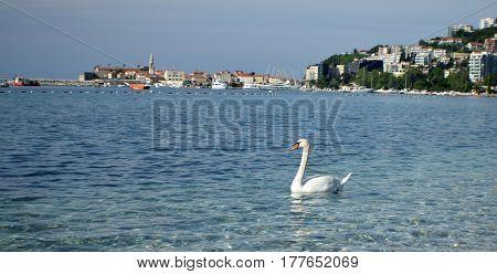 white swan in the sea near sandy sea coast