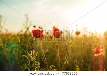 Beautiful poppy flowers on the green field.