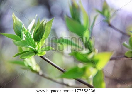 Green leaves of trees blossom in spring