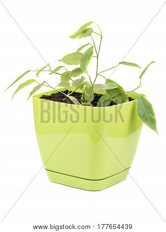 Young ficus benjamin in a flowerpot isolated on a white background