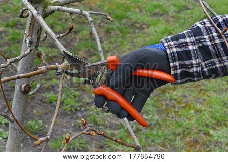 Agriculture, Tree Pruning In Orchard