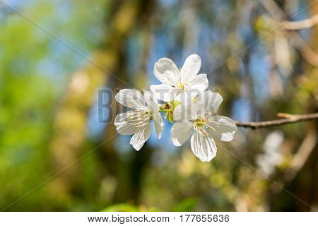 Cluster Of White Tree Blossoms - Hawthorn Tree