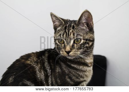 A gorgeous 5 month tabby sitting for the camera.