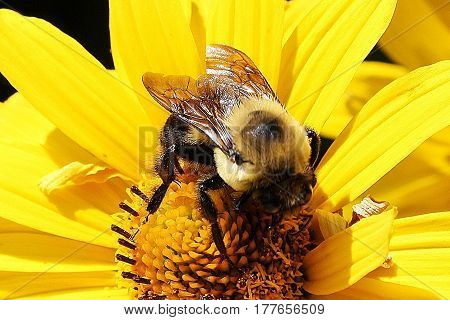 Bumblebee gathering nectar from a beautiful yellow flower