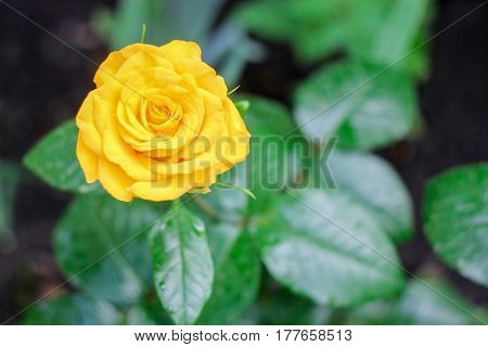 Bright yellow beautiful rose on a green background