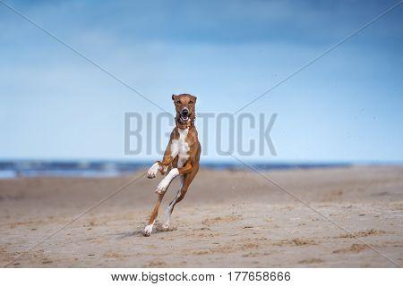 beautiful azawakh dog running on the beach