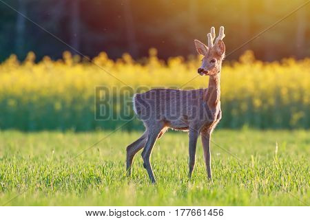 Wild roe deer in a field at sunset