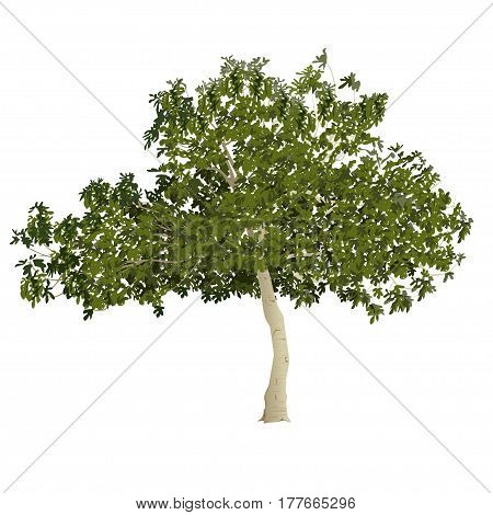Fig tree (Ficus carica) in the summer before formation of fruits on a white background