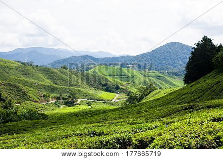 Tea plantations in Cameron Highlands, Malaysia. Green hills landscape