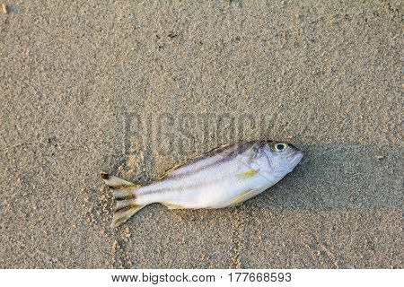 dead fish on the sand beach for background