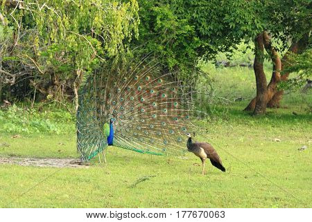 Indian Peafowl Pavo cristatus. Male a peacock is courting to a female peahen in wildlife Sri Lanka. Beautiful peacock performing its train.