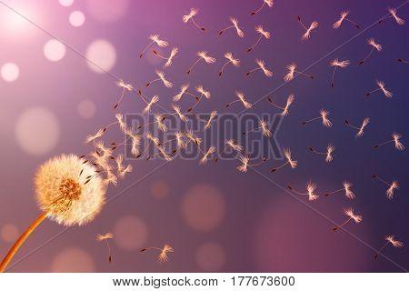 Dandelion in sunlight releasing seeds. Abstraction .