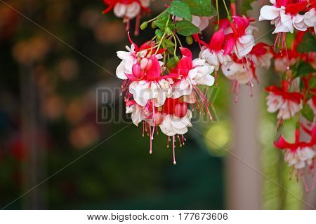 Beautiful white and red flowers of fuchsia
