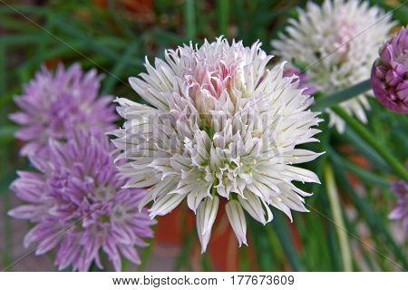 Flowers of chives allium schoenoprasum an edible species of the allium genus