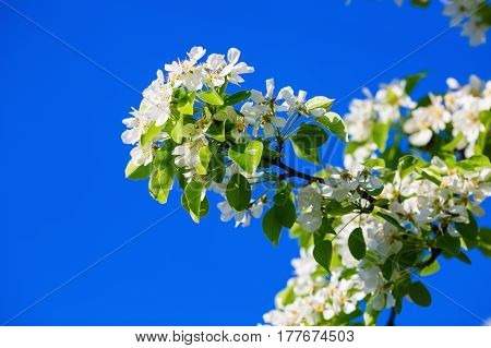 Blossoming tree branch with white flowers. Spring flowering tree. Tree in bloom.