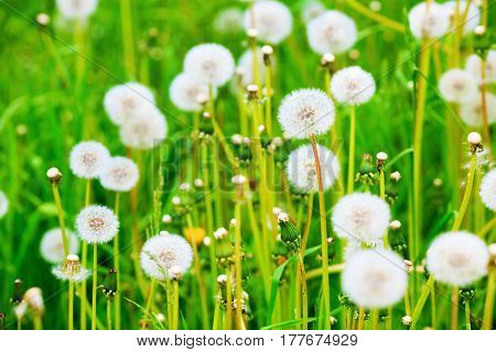 Meadow of dandelions. Sunny summer day. Shallow depth of field. Selective focus.