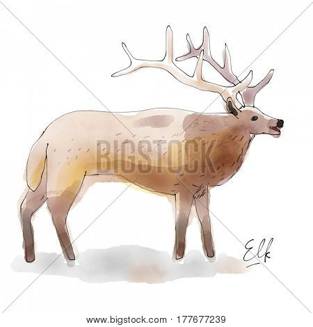 Elk. Watercolor animal drawing collection