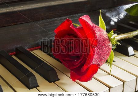 Red rose on the top of grand piano keys. close up