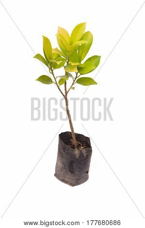 seedling ficus altissima Blume tree plant in the small black bag isolated on white