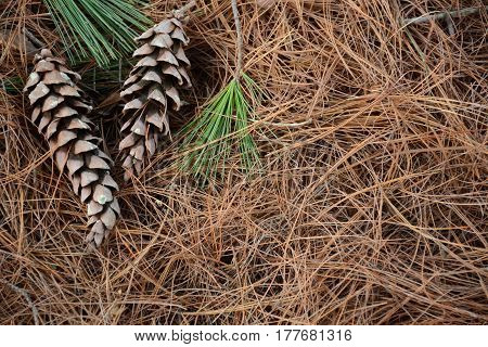 Beautiful cones on pine needles in a forest close up