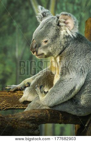Closeup profile  image of a gray koala bear